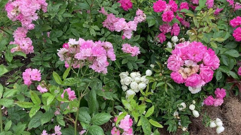 ЭКСКУРСИЯ ПО РОЗАРИЮ Б С ПЕТРА ВЕЛИКОГО современные розы