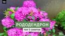 Как вырастить рододендрон в саду? Лучшие сорта рододендронов Цветущие кустарники 16