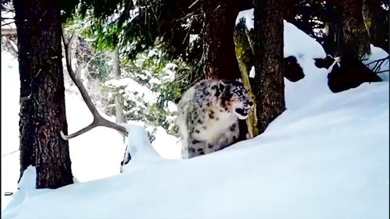 Снежные леопарды кричат. Снежные барсы, ирбисы.
