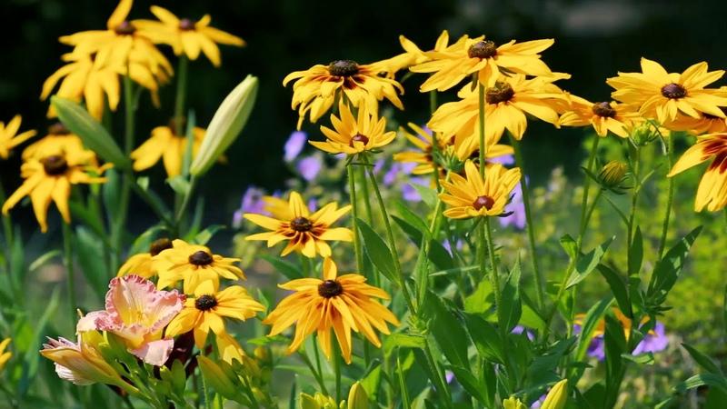 Футаж Рудбекия Желтые ромашки многолетние цветы Футажи footage красивая природа FullHD