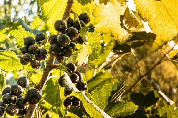 Осенняя обрезка чёрной и красной смородины.