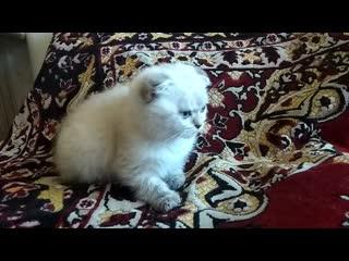 Шотландский котенок Казань