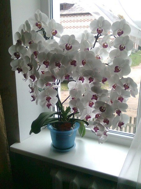 Никогда не видела,чтобы орхидея так цвела...