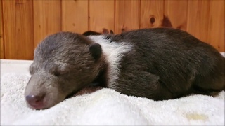 Трагедия еще в одной медвежьей семье  - 2 медвежат в Вологодской области остались сиротами