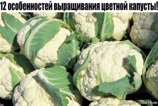 12 особенностей выращивания цветной капусты!