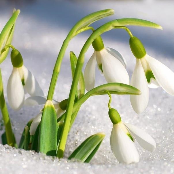 Самые ранние цветы для вашего сада
