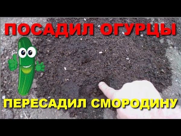 ПОСАДИЛ ОГУРЦЫ ПЕРЕСАДИЛ СМОРОДИНУ
