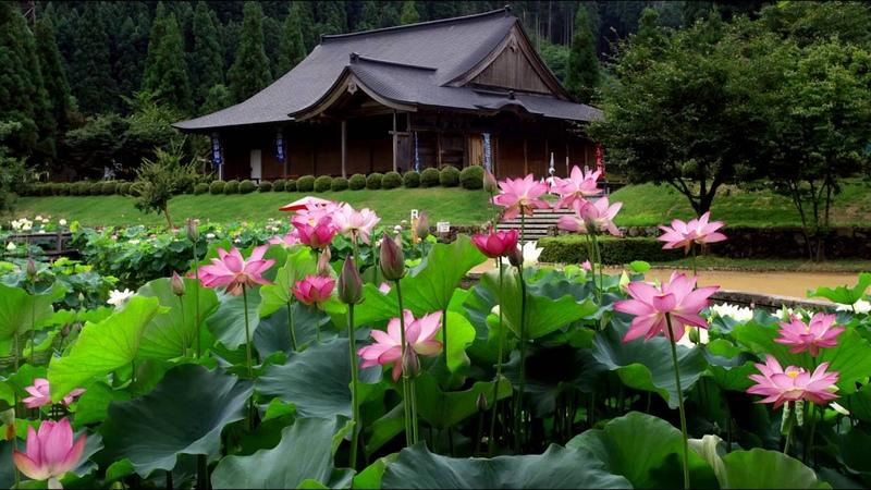 花はす公園と花蓮栽培地 福井県南越前町 Lotus park and lotus cultivation place in Minami-Echizen-cho, Fukui