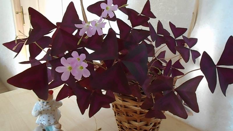 Цветок счастья кислица уход в домашних условиях видео. Цветок бабочка. Цветок любви. Оксалис.