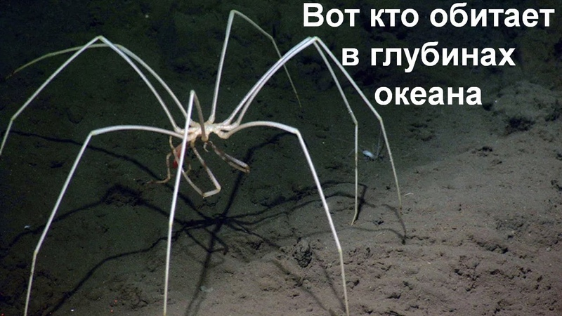 Жуткое существо из глубин океана Морской паук