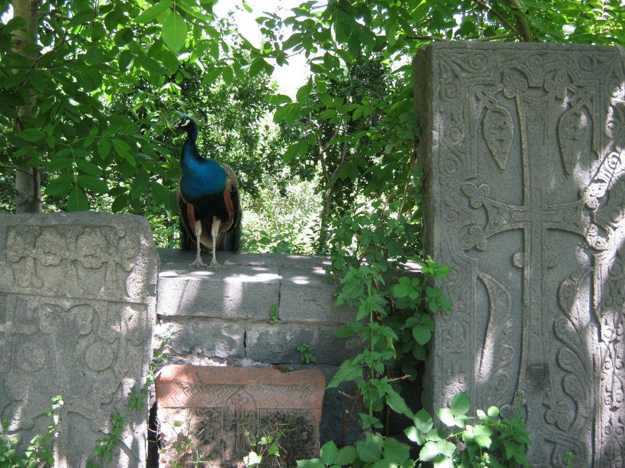 древние хачкары охраняет павлин.