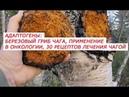 Адаптогены березовый гриб Чага, применение при онкологии, 30 рецептов лечения Чагой