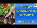 Помидоры выращивание на картофеле двойной урожай Миф или реальность Tomato