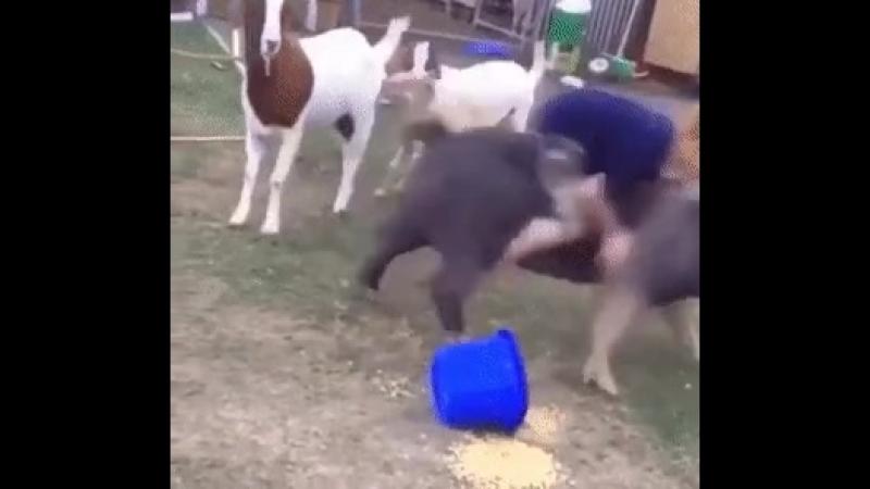 наездник свинья