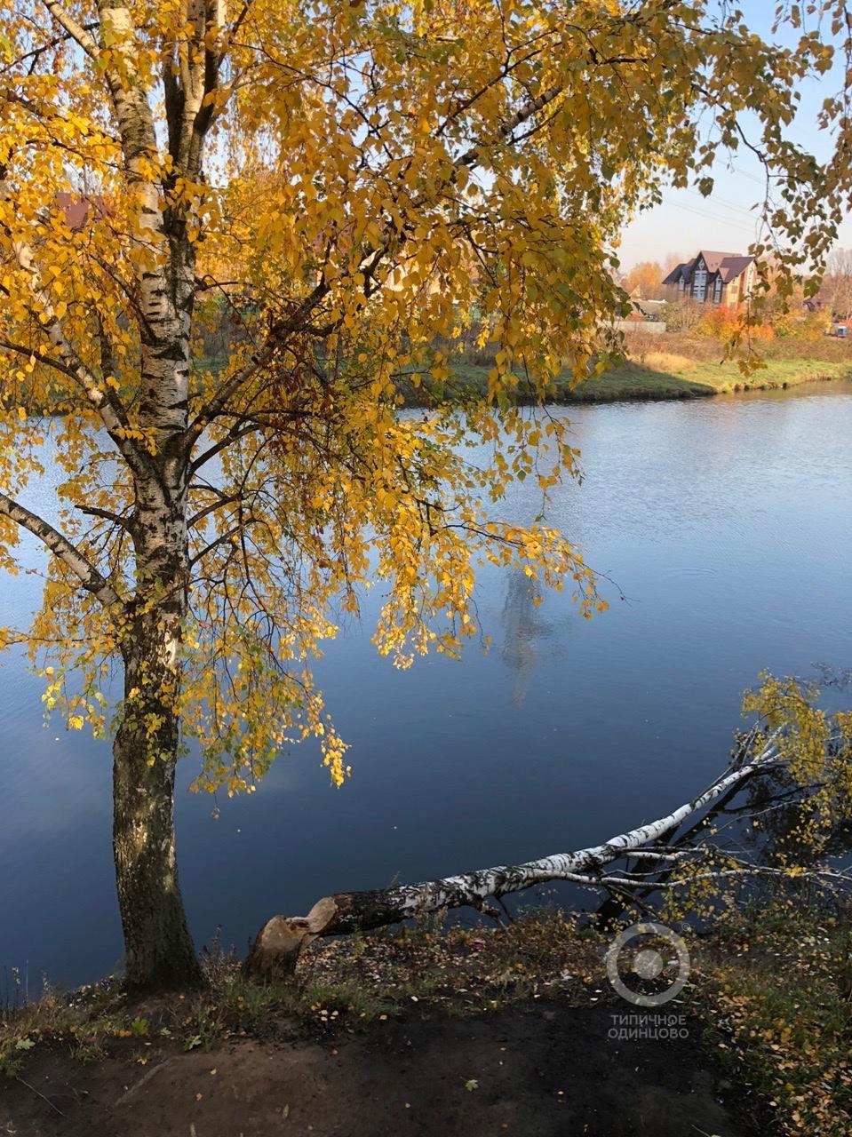 На Глазынинском пруду очередное дерево пало жертвой