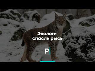 Экологи спасли рысь