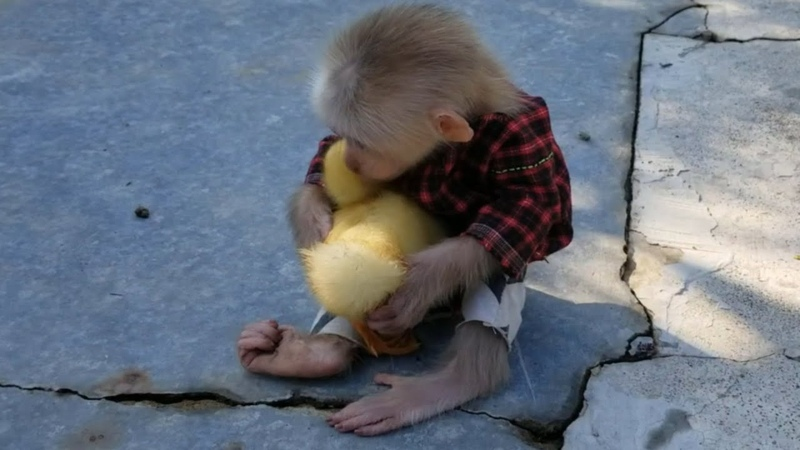 Lovely Moment of Baby Monkey Ape and Cute Duckling Chip