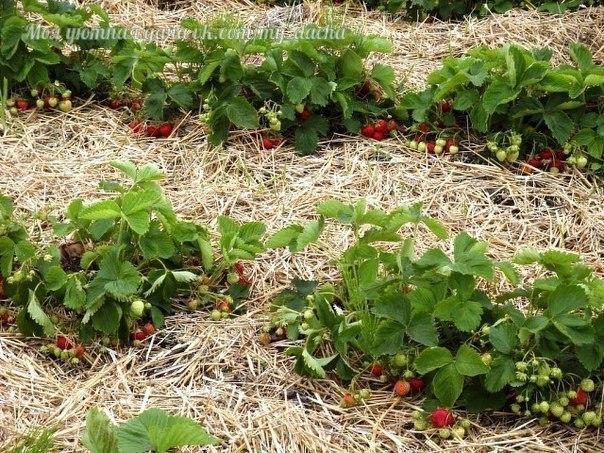 4 лучших удобрения для земляники садовой или клубники, как по старинке называют эту ягоду некоторые дачники