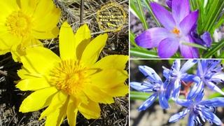 Spring wild flowers blooming, nature. Scilla bifolia, Adonis vernalis, Crocus vernus