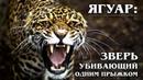 ЯГУАР Американский ЦАРЬ в Мире Животных Интересные факты про ягуара и больших диких кошек
