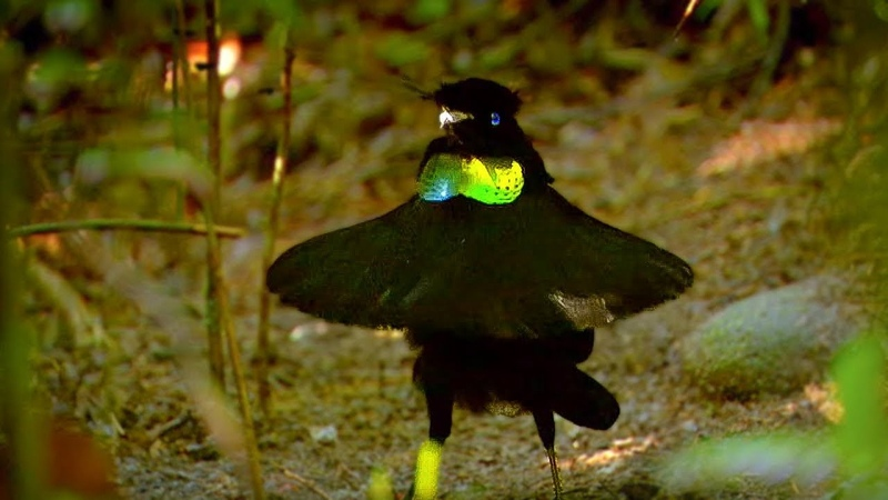 Bird Of Paradise Appearances COUNT!   Animal Attraction   BBC Earth