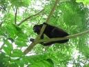 Коста Рика. Конго - обезьяна ревун