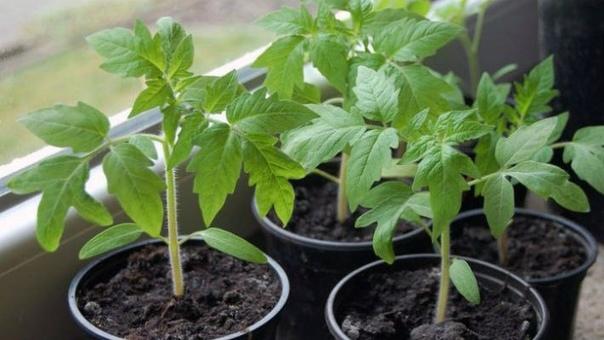 Хотите получить крепкую здоровую рассаду помидор
